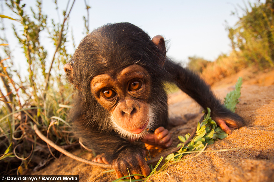 going ape cute chimps get up to mischief in guinea
