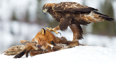 Dinner Is Served: Hungry Eagle Feasts On Dead Fox