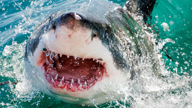 One Giant Leap: Great White Sharks Breach In The South Atlantic Ocean