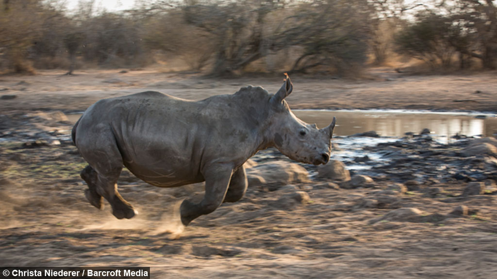 Get Off My Land Young Rhinos Chased From Watering Hole
