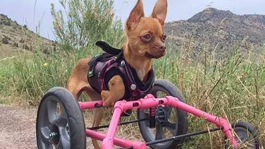 Chihuahua on wheels: Daffodil's first hike