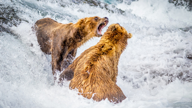 Fishing For Salmon With Alaska's Brown Bears