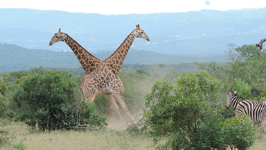 Giraffes Go Neck-To-Neck In Epic Fight