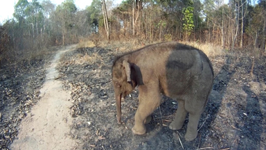 Baby Elephant Rescued In Vietnam After Being Separated From Herd