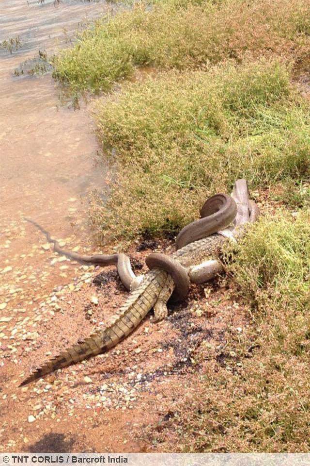 Snake Versus Crocodile