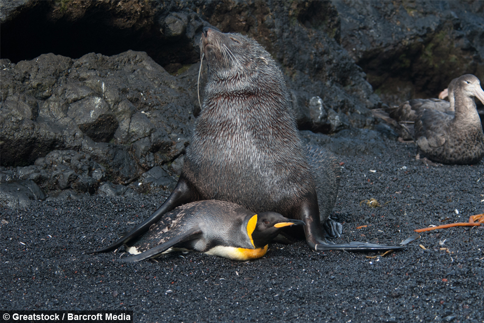 Antarctic fur seal sexualy