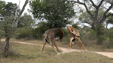 Neck and neck: Male giraffes fight for female