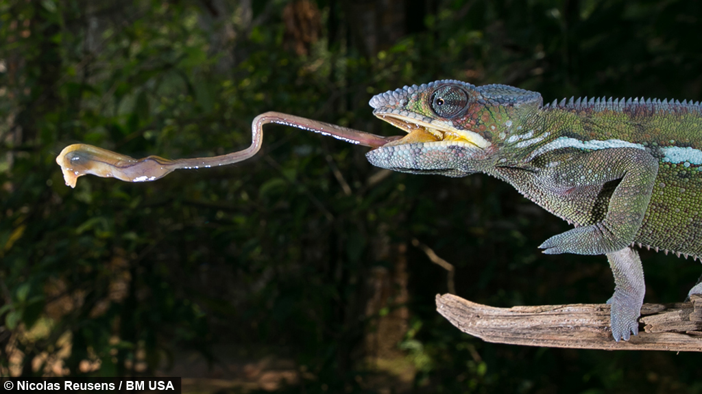A Sticky Situation Chameleon Catches Prey With Long Tongue
