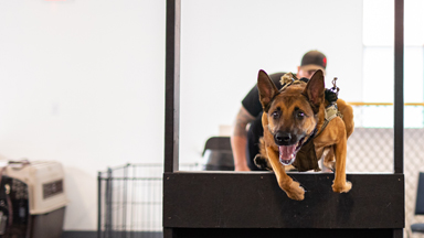Belgian Malinois - The Guard Dogs Trained To Military Standards