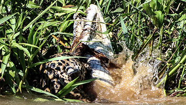 Jaguar In Dramatic Fight To The Death With Caiman