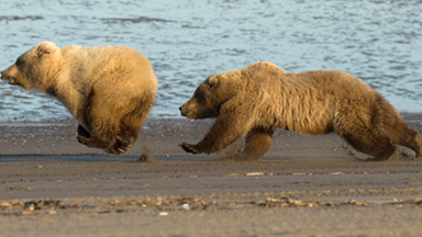 Three's A Crowd: Mother Bear Chases Off Curious Male