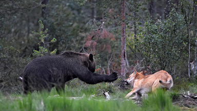 Claw Off: Wolves and bears trade blows over territory