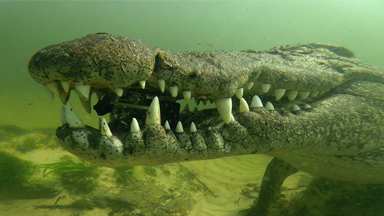 SNAP! Croc Steals Go-Pro From Diver