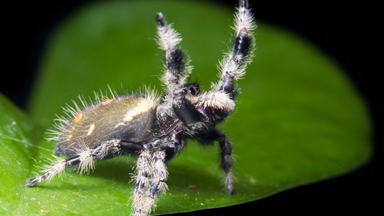 A Jumping Spider's Dance For Love