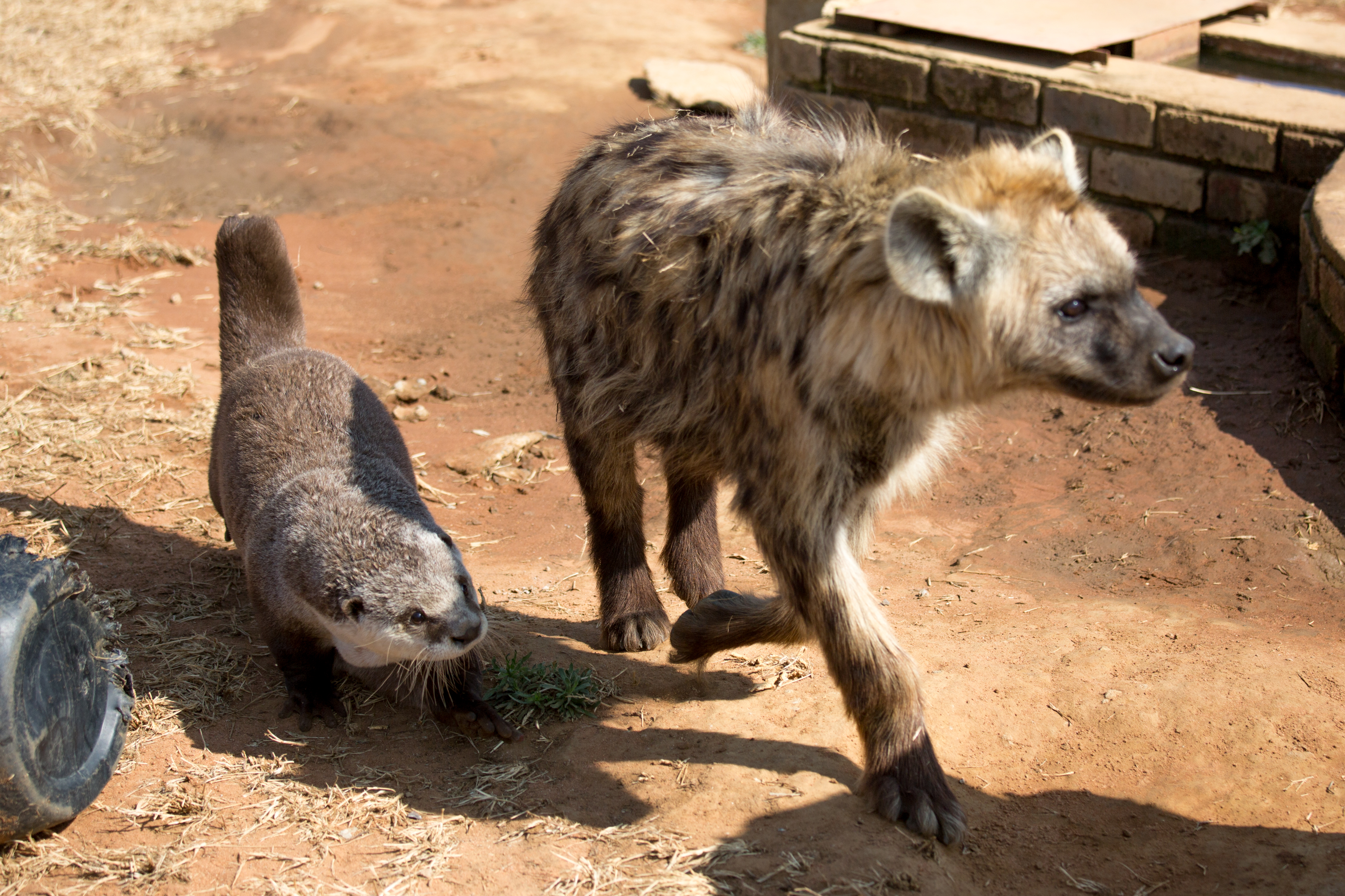 Abc7 News Cute Otter Is Best Friends With Lions And Hyenas