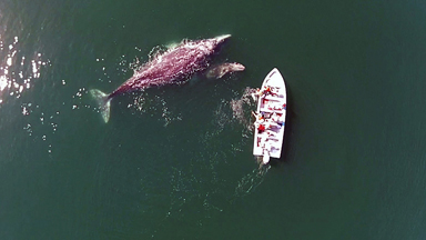 Drone Footage Of Grey Whale Mother And Calf Playing With Tourists
