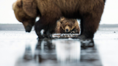 Clammed Up? Flirty Male Bear Shunned By Female