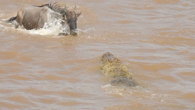 Crocodiles Feast On Helpless Migrating Wildebeest