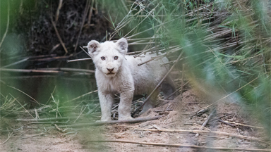 First-ever photos of newborn white lions in the wild