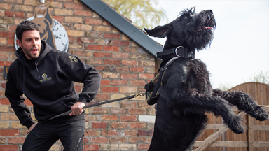 Training Giant Schnauzers - The $37,000 Guard Dogs
