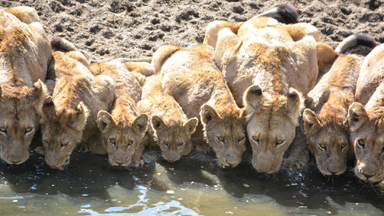 Stand In Li-on: Thirsty pride of lions queue up for a drink