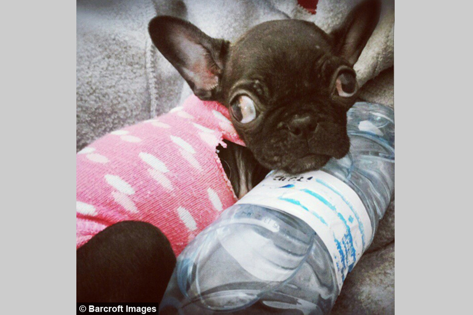 The French Bulldog With No Eyes