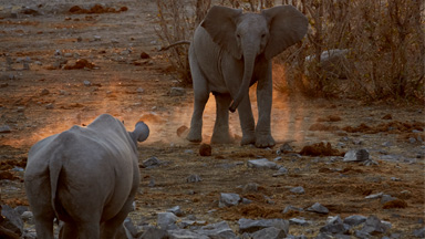 Battle of the Behemoths: Teenage elephant squares up to angry rhino