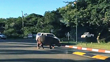 Hungry Hippo charges towards terrified children