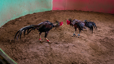 Head to Head: Roosters fight to the death in Laos