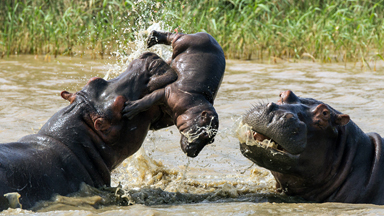 Tragic Moment Adult Hippo Tosses Newborn Calf In The Air