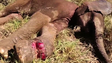 Heroic Vets Save Baby Elephant Injured By Poacher's Snare