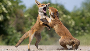 You Want Some? Cute Fox Cubs Wrestle In The Sun