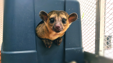Couple Own A Mischievous Kinkajou As A Pet