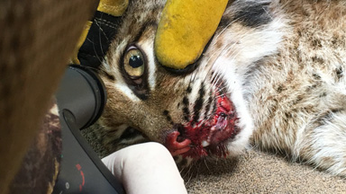 Bobcat Makes Lucky Escape From Car Crash