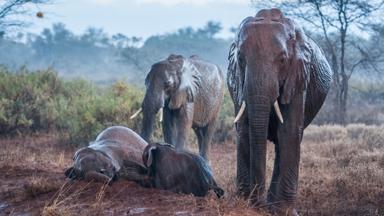Adorable elephant family get down and dirty in rain soaked mud bath