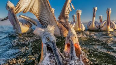 Hungry Pelicans Get Up Close and Personal With The Camera