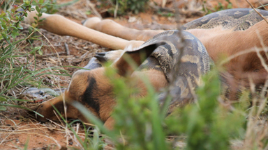Snapped: African Rock Python Swallows Impala Whole