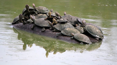 Hitching A Ride: Crafty Terrapins Relax On A Hippo