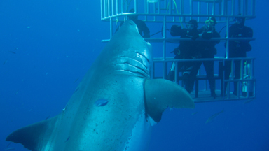 Diver Films What Experts Believe To Be Largest Great White Shark Ever Caught On Camera