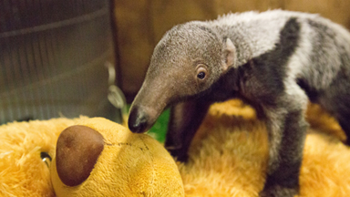 Baby Giant Anteater Loves Her Teddy Bear