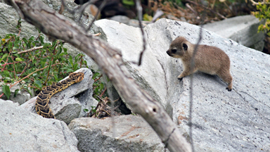 Hide And Peek: Cute Hyraxes Spy On A Snake