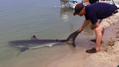 Beachgoers Rescue Great White Shark