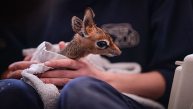 Adorable Baby Dik-Dik Antelope Is Only 19cm Tall