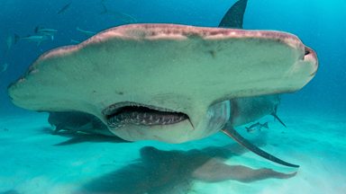 Photographers Fulfil Life-Long Dream To Dive With Hammerhead Sharks