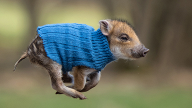 A-BOAR-able: Orphaned Wild Boar Piglets Make Animal Friends
