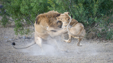 Lions Spotted Fighting In Kruger National Park