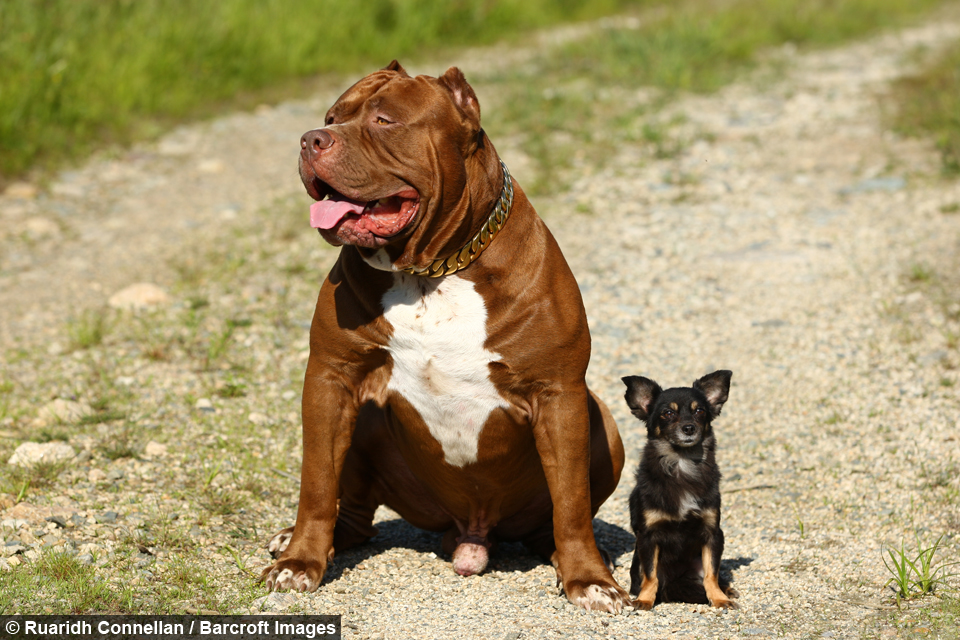 Pedigree Chums Giant Pitbull And Tiny Chihuahua Are Best Friends - Meet hulk possibly worlds biggest pitbull still growing