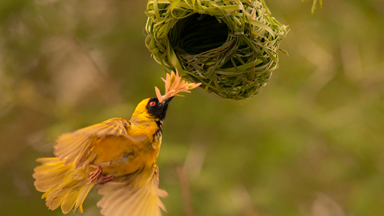 Love Nest: Weaver Birds Create Elaborate Nests to Attract the Opposite Sex