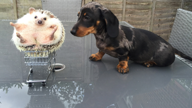 Pet pals: Hedgehog and dogs are the best of friends