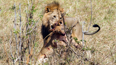 Mane Course: Cannibal Lion snacks on a cub